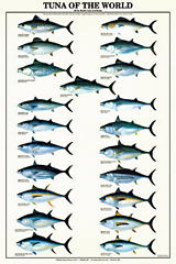 saltwater fish identification chart, tuna