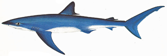 types of shark, blue shark