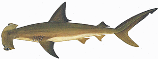 types of shark, hammerhead shark
