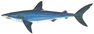 types of shark, mako shark