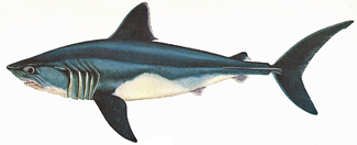 types of shark, porbeagle shark