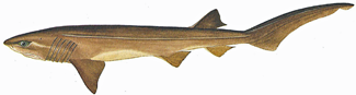 types of shark, six-gilled shark