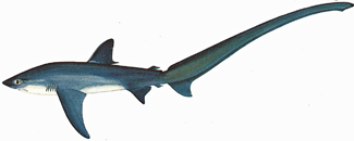 types of shark, thresher shark