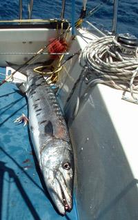A 50lb baracuda caught from the sailboat 'Alacazam'