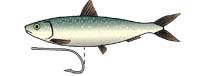 Any fish of the herring family makes a great  trolling bait - providing it's rigged correctly