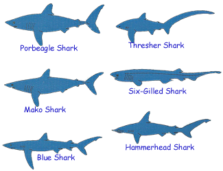 Six common types of sharks.
