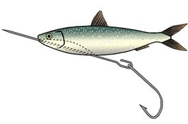 Rigging a sprat for trolling (2)